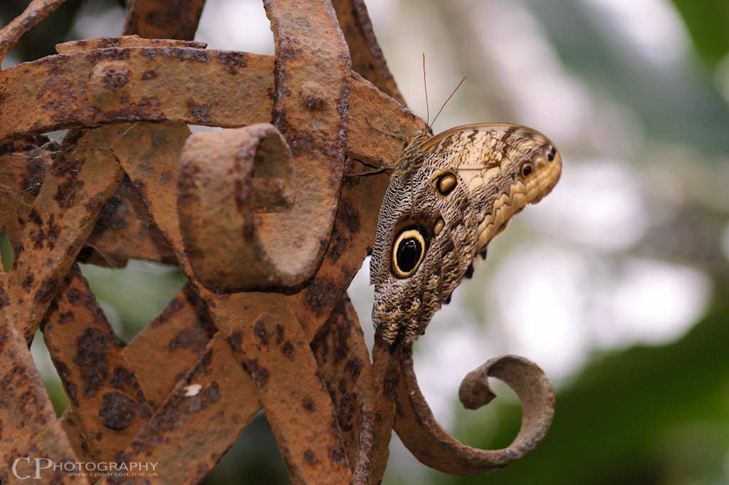 Owl Butterfly at RHS Wisley Gardens