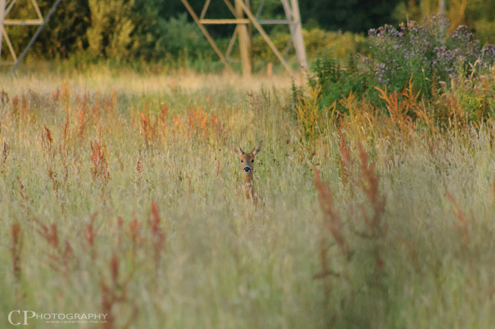 A roe deer in the long grass at Surrey Wildlife Trust Manor Farm reserve