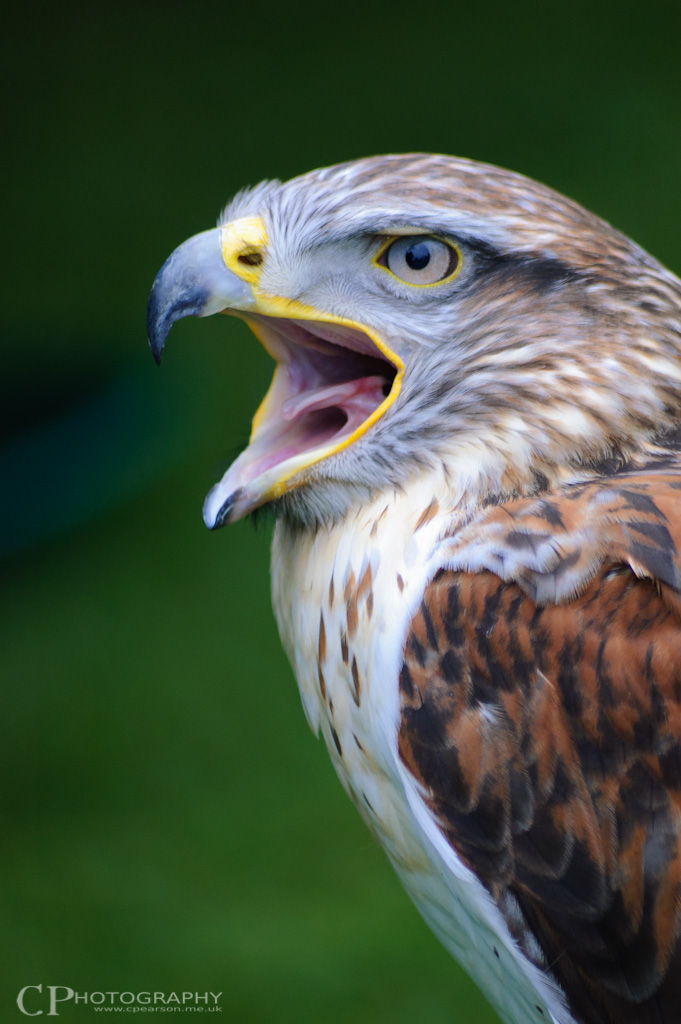 'Fudge' the Ferruginous Hawk