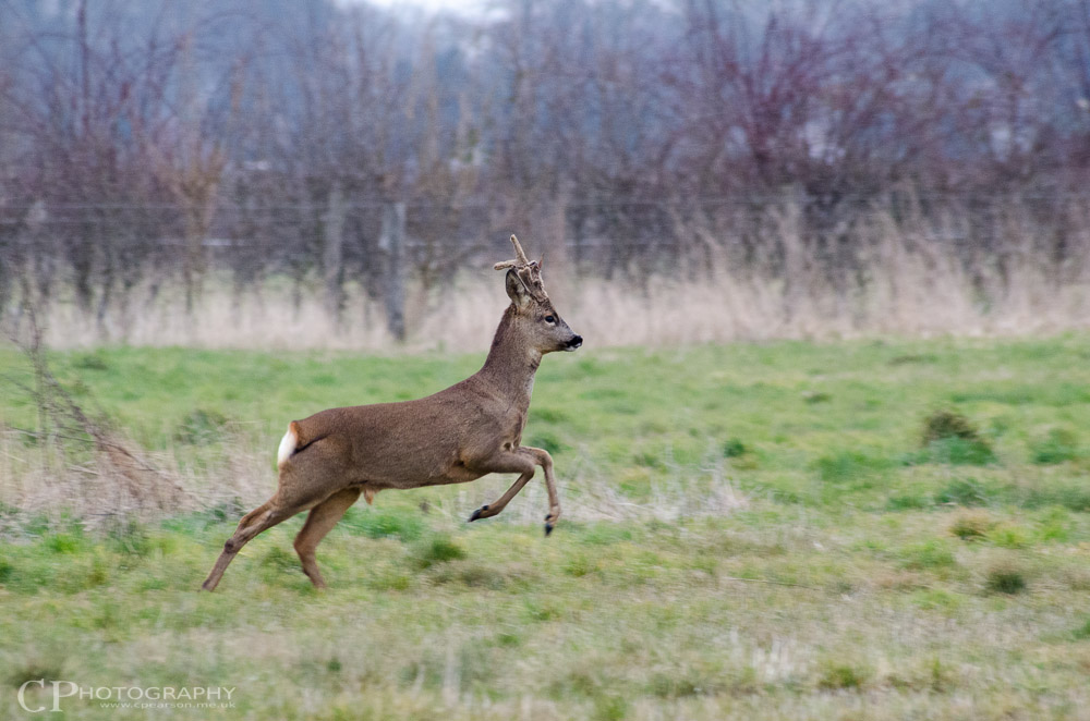 A Roe deer at SWT Manor Farm