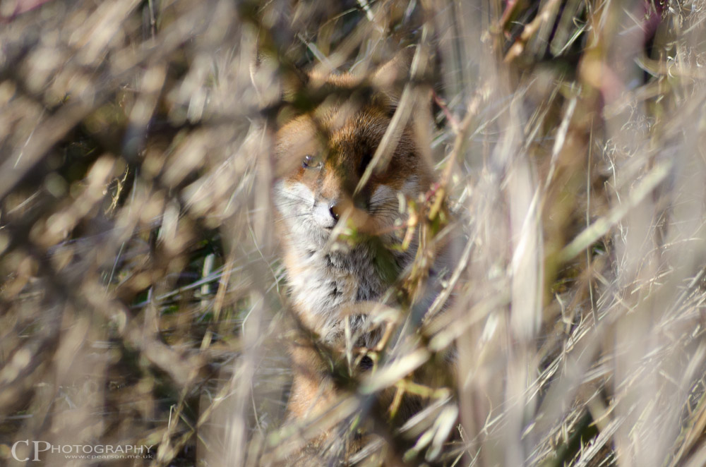 A fox stares from the undergrowth
