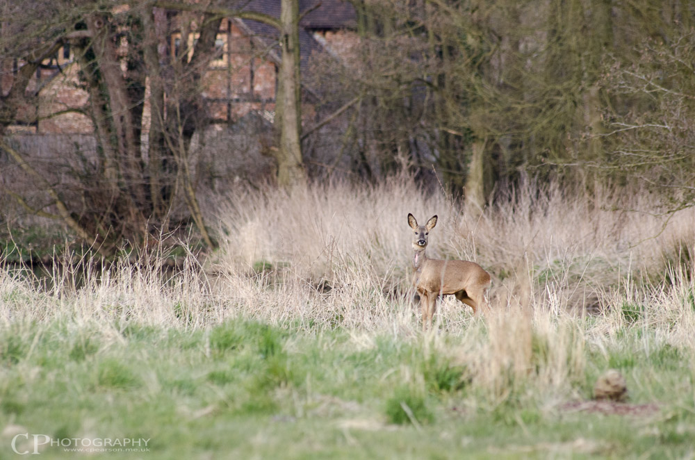 A female roe deer