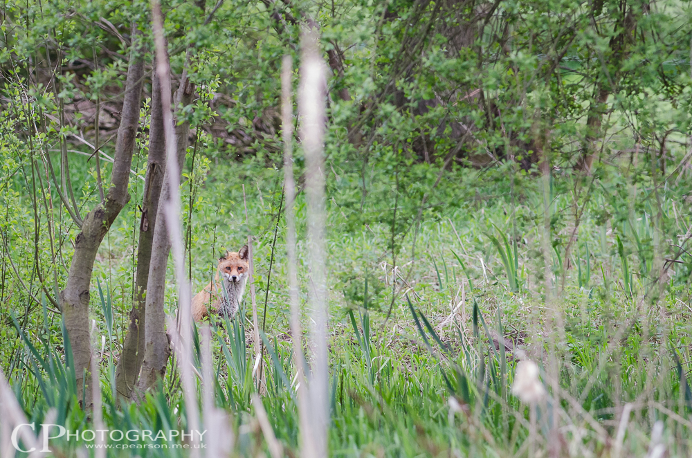 A fox hides in a thicket