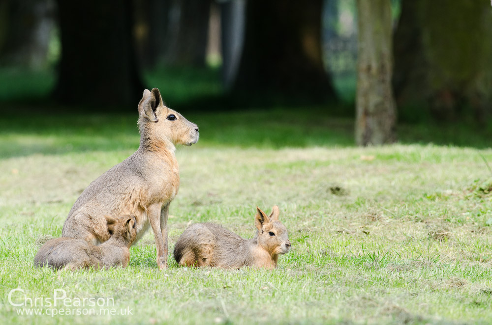 A female Mara with 2 young