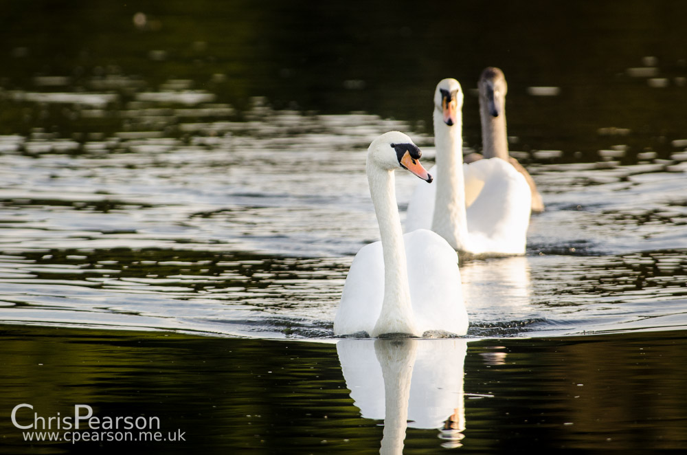 A pair of mute swans with their cygnet