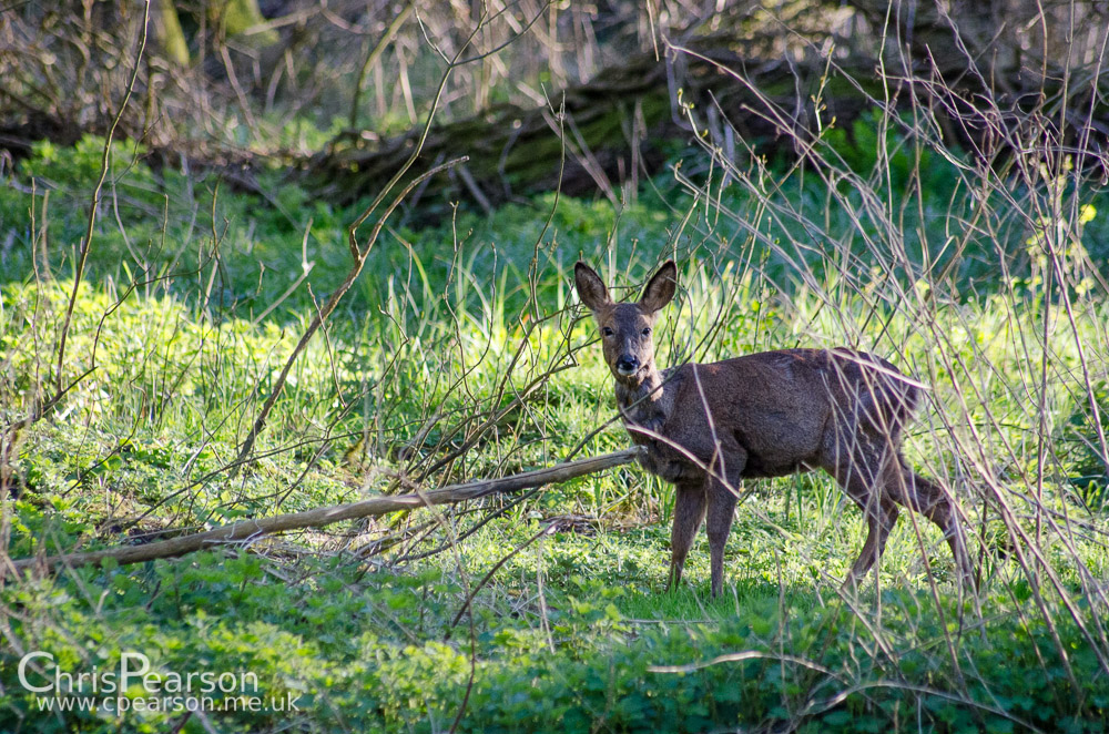 A roe deer doe feeds on a wooded area between a river fork