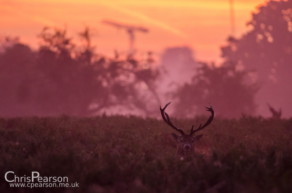 A red deer stag at Dawn in Bushy Park. Kingstons skyline can be seen in the back ground