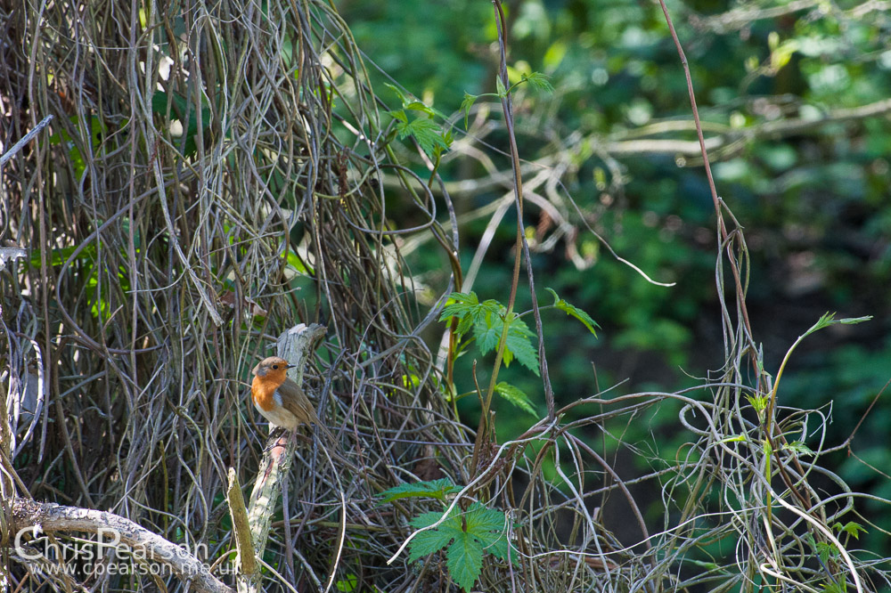 A robin sits on a vine covered stree opposite the bird hide at RHS Wisley Gardens